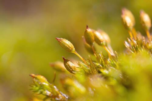 Orthotrichum sp.