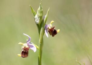 Ophrys holosericea