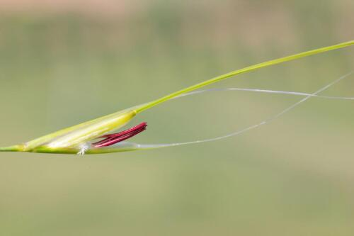 Stipa dasyvaginata