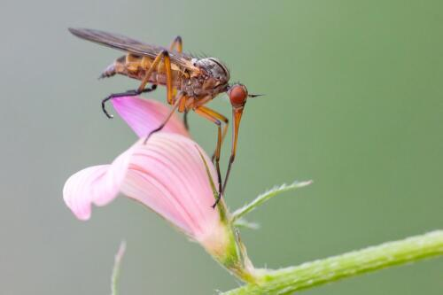 Empis sp.